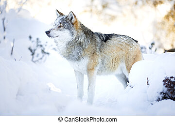 Snowy wolf stands in beautiful winter forest - One snowy...