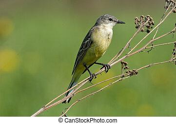 Perching female Yellow Wagtail - Perching female Yellow...