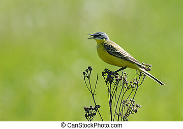 Singing Yellow Wagtail - Perching male Yellow wagtail...