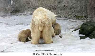 Polar bear and bear-cubs feeding - Polar bear and cubs...