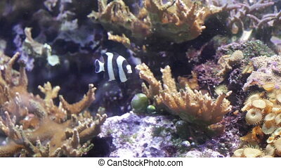 Striped fish floating in corals underwater - Bright small...