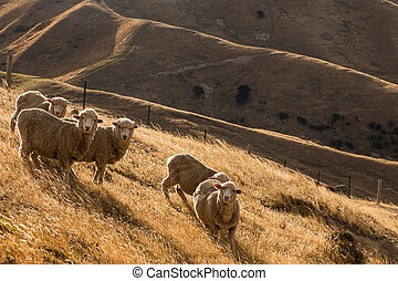 flock of merino sheep on sunlit hills