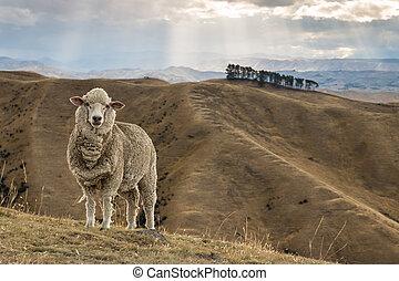 merino sheep standing on grassy hil - closeup of merino...