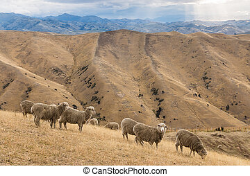 merino sheep grazing on Wither Hills, New Zealand