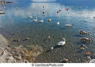 Swans swimming in Lake Geneva, Vevey, canton of Vaud,...