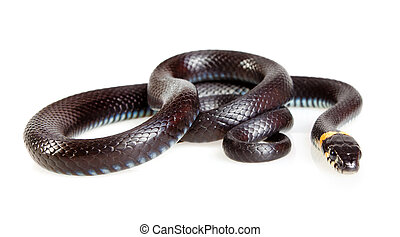 Snake isolated on white background. Grass Snake (Natrix...