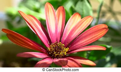Pretty pink african daisy gardening - Summertime flowers...