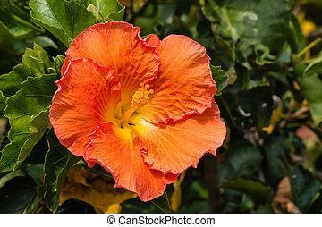 sunlit orange hibiscus flower - closeup of sunlit orange...