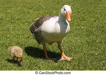 domestic goose with gosling - closeup of domestic goose with...