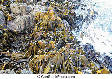 Large Kelp - a massive amount of ocean Kelp found in New...
