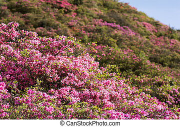 Azalea and hillside - Pale pink azalea flower field in front...