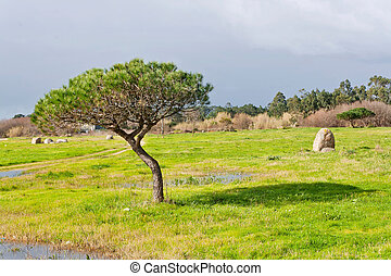 Stone pine and grass in Bao park on Arousa Island
