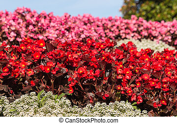 red and pink begonias flowerbed - closeup of red and pink...