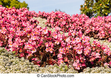 pink begonias flowerbed in bloom