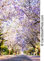 Jacaranda trees next to a tarred road in South Africa -...