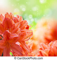 Orange amaryllys flowers background with place for text...
