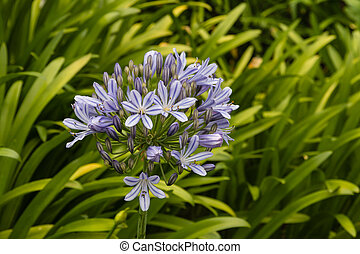 blue Agapanthus flowers in bloom - closeup of blue...