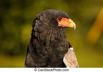 Acrobat eagle portrait