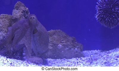 Octopus and sea urchin relaxing in an aquarium against blue...
