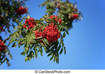 ashberry with leafs on sky background, spetember