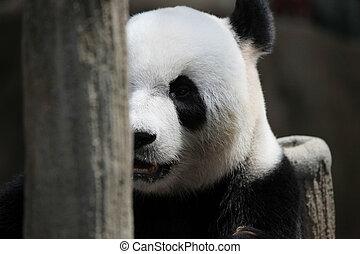 Panda bear portrait - Cute Panda bear close up portrait
