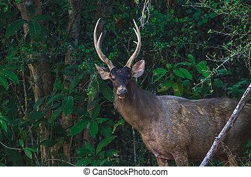 Sambar deer in forest