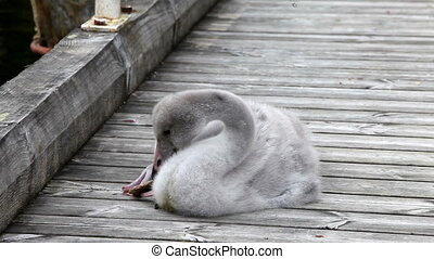 The young swan cleans feathers .