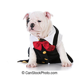 puppy wearing tuxedo - english bulldog puppy wearing a...