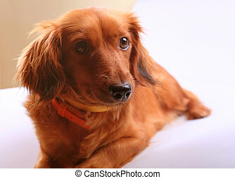 Purebred brown longhaired dachshund dog - Beautiful purebred...
