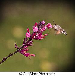 Strange insect, Macroglossum stellatarum feeding on flowers...
