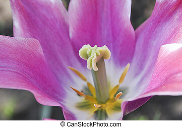 a full-blown tulip - A full-blown tulip with pistil and...
