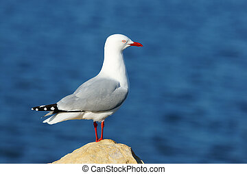 Sea gull stand up near ocean in New Zealand