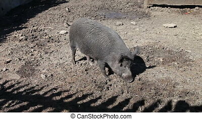 Wild boar at the zoo cage in summertime
