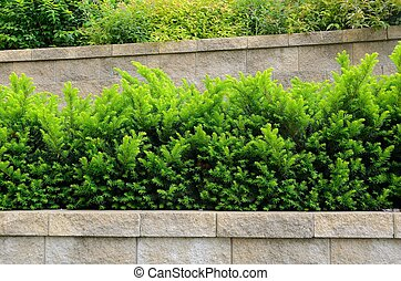 Tiered Retaining Wall with Yew Shrubs - Tiered Retaining...