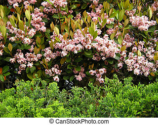 Indian Hawthorne Raphiolepis indic - Planted here as a hedge...