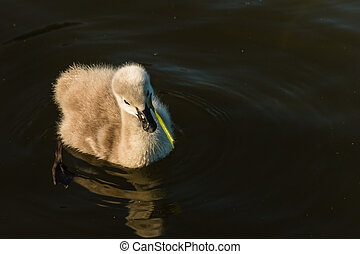 black swan cygnet feeding on plant - black swan cygnet...