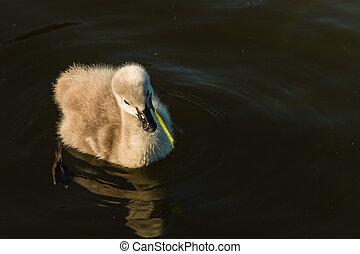 black swan cygnet feeding on plant - black swan cygnet...