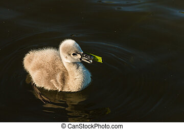 cygnet feeding on aquatic plant - closeup of cygnet feeding...