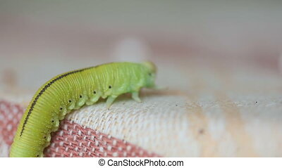 The Birch sawfly larva crawling on a cloth - Yellow-green...