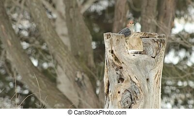 Red-Bellied woodpecker - A Red-Bellied woodpecker searching...