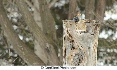 Red-Bellied woodpecker - A Red-Bellied woodpecker searching...
