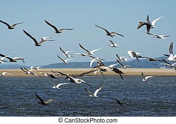 Flock of seabirds flying - Seabirds flying over tidal flats...