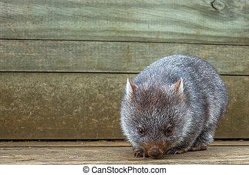 Little Wombat Australia - Little wombat, Vombatus ursinus,3...