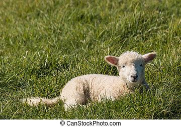 newborn lamb resting on meadow - closeup of lamb resting on...