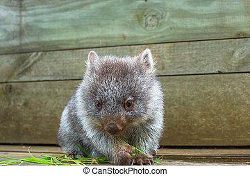 Little Wombat Tasmania - Little wombat, Vombatus ursinus,3...