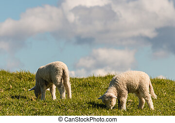 two lambs grazing on meadow - closeup of two lambs grazing...