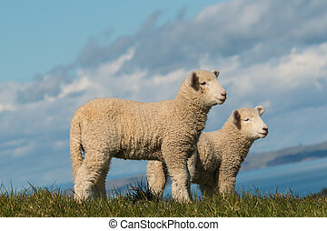 two alert lambs standing on pasture