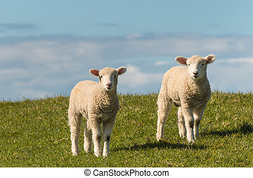 two lambs standing on meadow - closeup of two lambs standing...