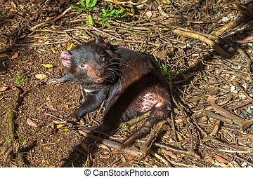 Tasmanian Devil lying - Tasmanian devil lying under the suns...