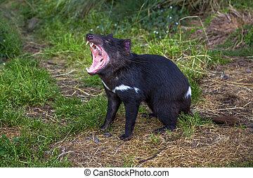 Tasmanian Devil angry - Tasmanian devil andry in Tasmanian...